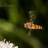 Hoverfly sp, Episyrphus balteatus 4
