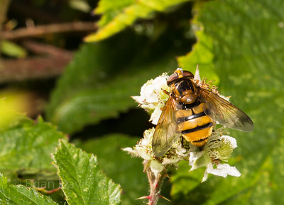 Hoverfly sp, Volucella inanis 2