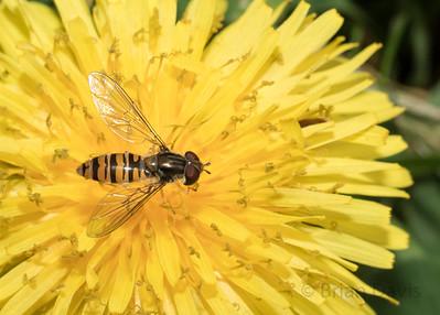 Hoverfly sp , Episyrphus balteatus