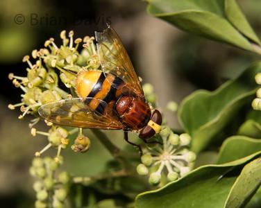 Hoverfly sp, Volucella zonaria 2