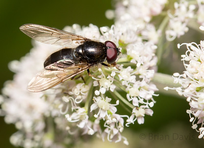 Hoverfly, Cheilosia sp 2