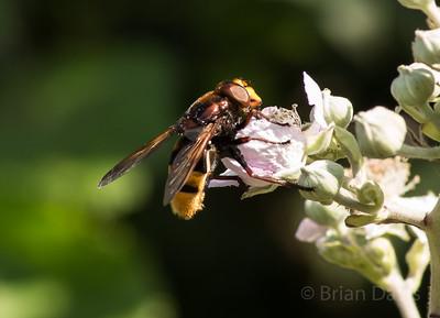 Hoverfly sp, Volucella zonaria