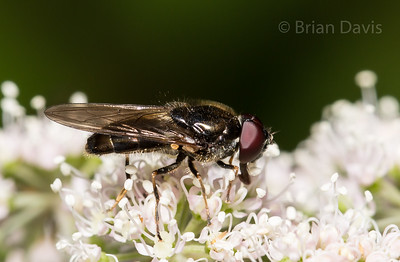 Hoverfly, Cheilosia sp