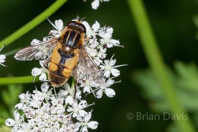 Hoverfly sp, Helophilus hybridus 2