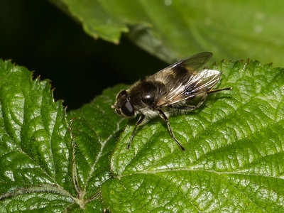 Hoverfly sp, Cheilosia illustrata