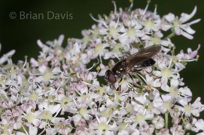 Hoverfly sp, Cheilosia scutellata