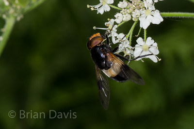 Hoverfly sp, Volucella pellucens