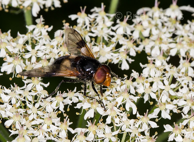 Hoverfly sp, Volucella pellucens 2