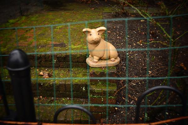 Fenced Pig---Roxborough, PA