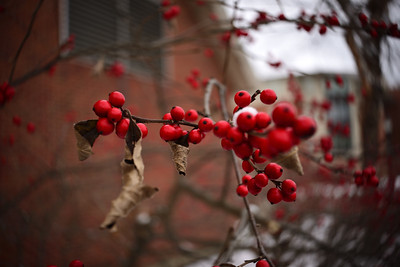 Red Berries–––East Stroudsburg, PA