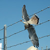 American Kestrel caught on barbed wire