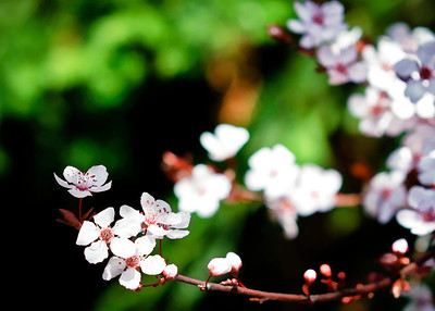 032_Blossoms