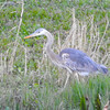 Great Blue Egret