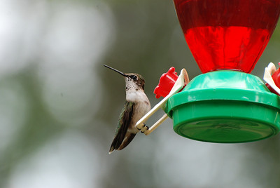 Hummingbird, smile for the camera Stallings, NC