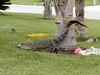 Wrestled Florida gator