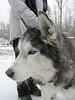 Bajka - Our 1st Husky