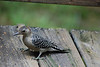 Another one of our backyard bird friends. Can you name the species and family?
