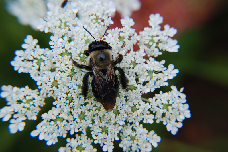 Bumble Bee on Queen Anne's Lace