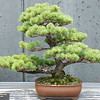Japanese White Pine in Bonsai garden at North Carolina Arboretum in Asheville