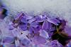 Winters inevitable spring - Purple flox undercover