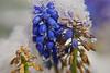 Winters inevitable spring - Hyacinth muscara spring tears