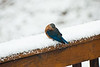 Winters inevitable spring - Curious Bluebird