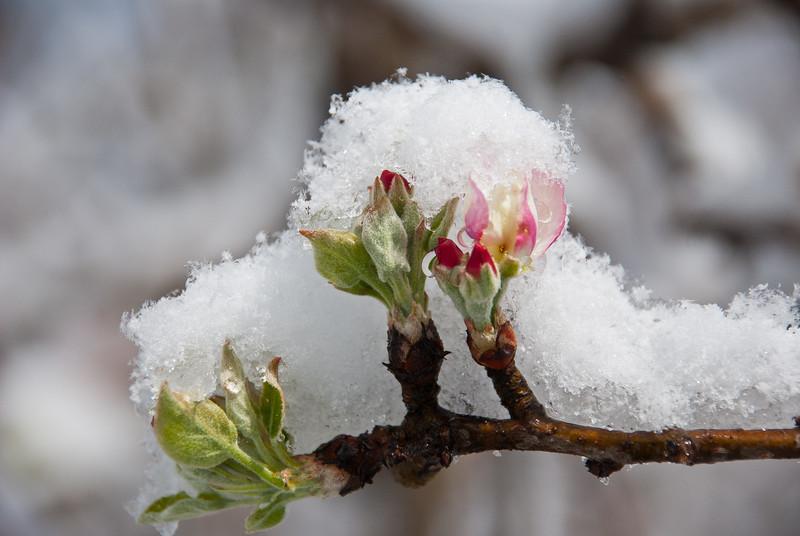 Winters inevitable spring - Granny Smith on ice