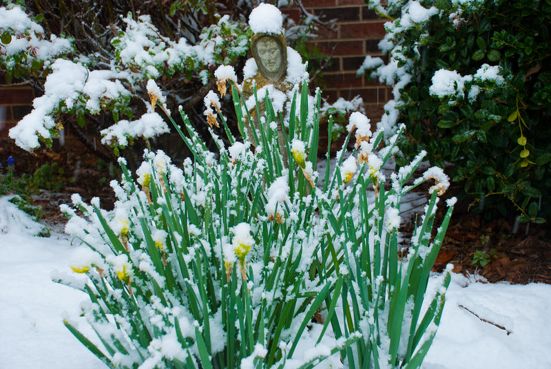 Winters inevitable spring - St Francis and Winter daffodils