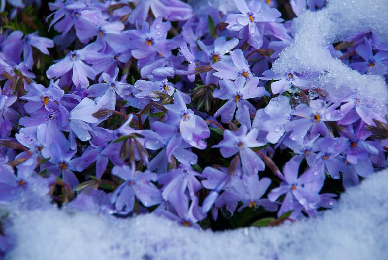 Winters inevitable spring - Purple flox melts winter away