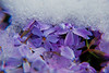 Winters inevitable spring - Purple flox undercover