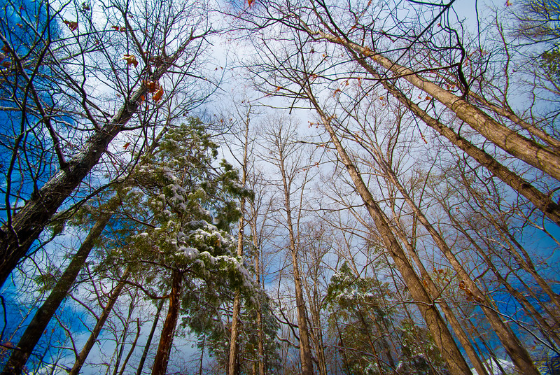 Winters inevitable spring - Hardwoods and pines stretch for blue skies