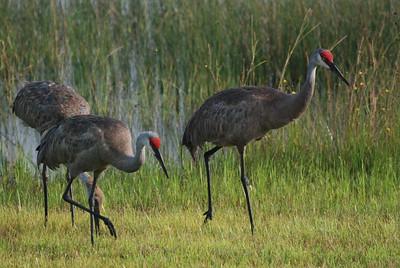 Sandhill Cranes in Leesburg marsh