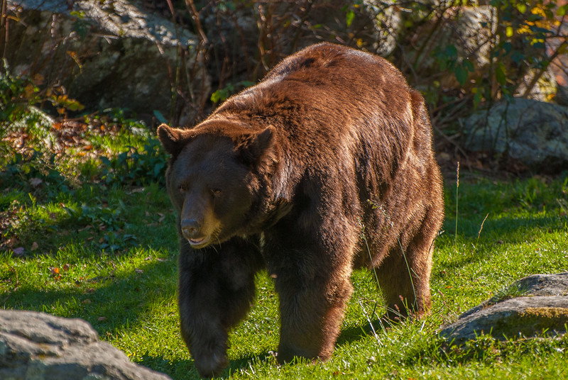 Black Bear in his cinnamon coat at the Grandfather Mountain Nature Center