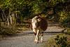 Schwangere Kuh