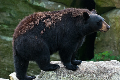 Black Bear - Perhaps a relative of Mildred?