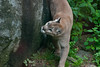 "Cougar eyes onlookers from habitat during an ""animal enrichment"" session"