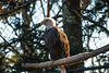 Eagles at Grandfather Nature center