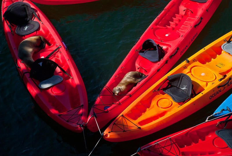 The Sea Lion pups were victorious in claiming their kayaks