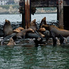 "A ""gaggle"" of California Sea Lions barking, sunning, and lazing."