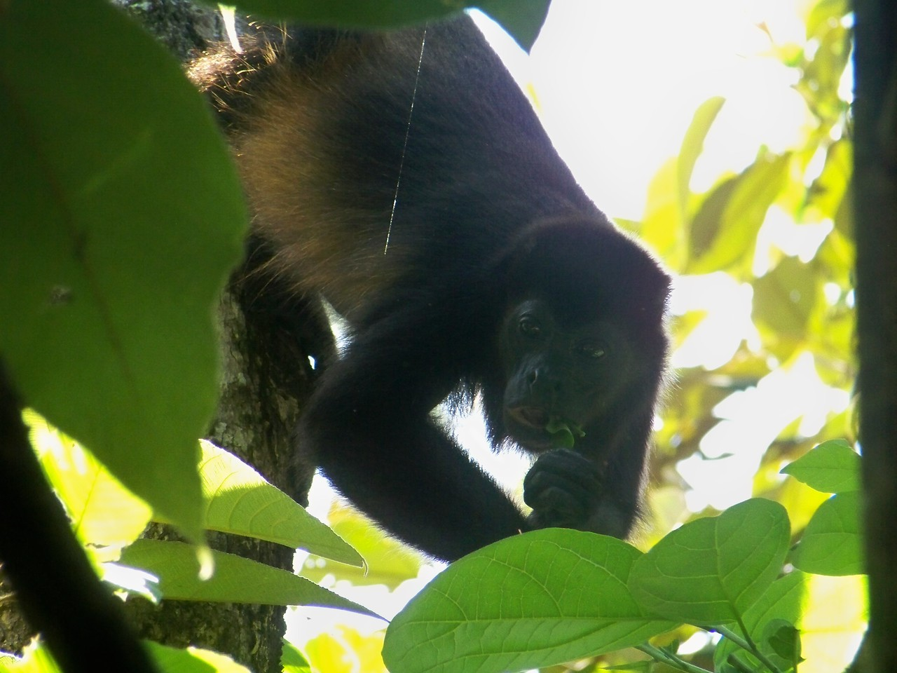 Alouatta palliata, or mantled howler monkey. Isla Boca Brava, Panama.