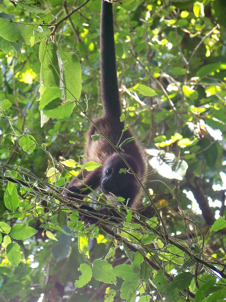 The prehensile tail is used for manuevering in branches to gather the leaves that make up the bulk of the diet.