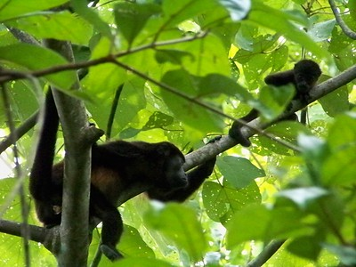 Howler monkey mom and baby. Punta Burica, Panama.