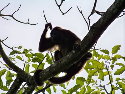 Howler monkey (mono congo) mom and baby.