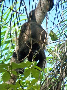 The male throat pouch amplifies the call that says, there is a troop in this territory!  Isla Boca Brava, Panama.