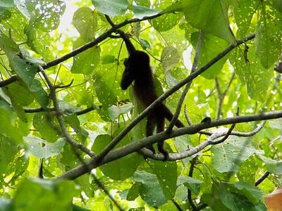 Baby mono congo.
