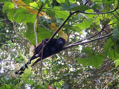 Because their diet is made up primarily of leaves, howlers need time to digest their meals. They can be observed napping in trees. Isla Boca Brava, Panama.