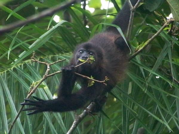 This troop of monkeys was very, very busy eating leaves. Isla Boca Brava, Panama.