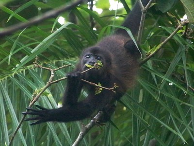 This troop of monkeys was very, very busy eating leaves. Isla Boca Brava, Panama.