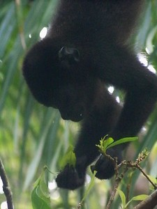 The prehensile tail and gripping feet give the monkey ability to hang from a sturdy branch while reaching the most tender leaves on slender branches. Isla Boca Brava, Panama.
