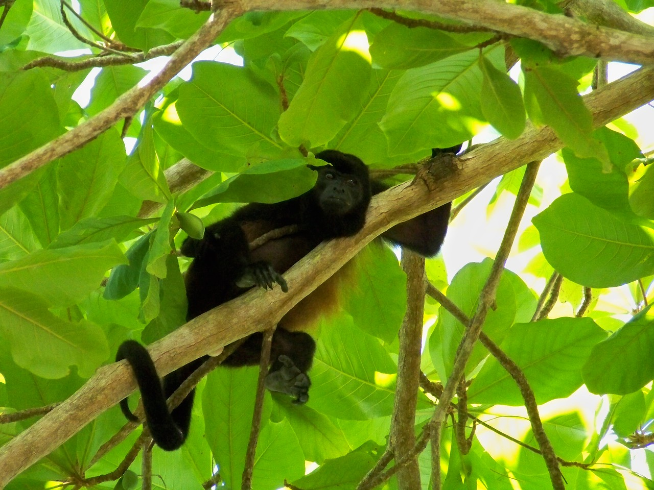 Waking each morning to the unbelievable racket of the howler monkeys in the trees over my sleeping pad beats an alarm clock any day. Punta Burica, Panama.